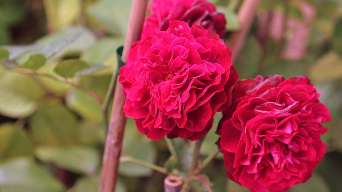 Rose Têtedoie ©Godet_0855