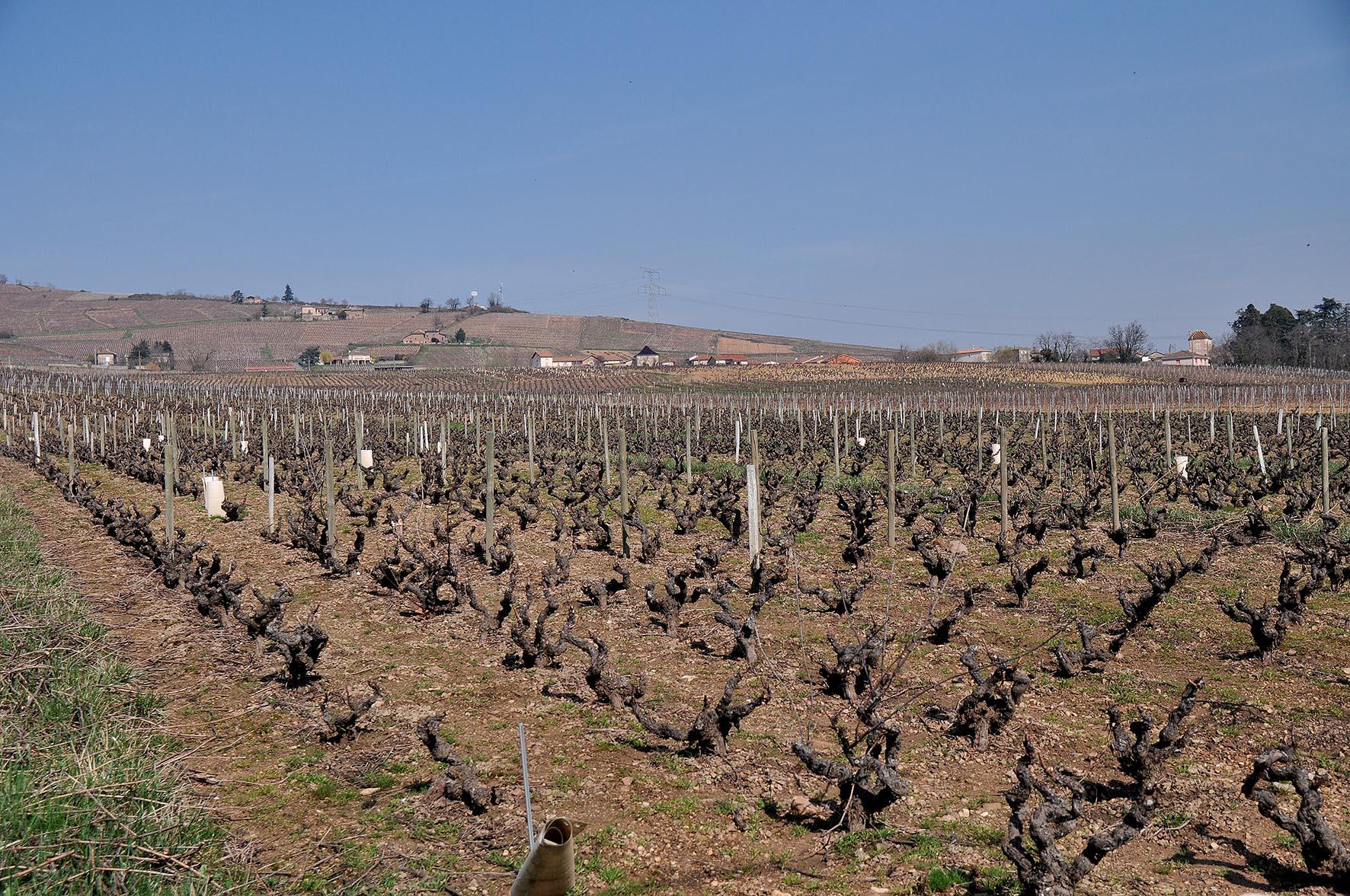 Vignes Juliénas ©Godet