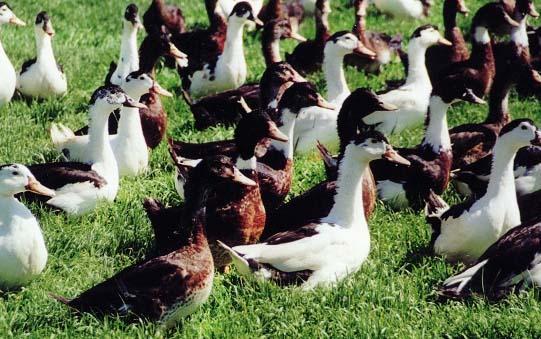 Fermeture des élevages (oies et canards). Le Sud-Ouest à la peine !